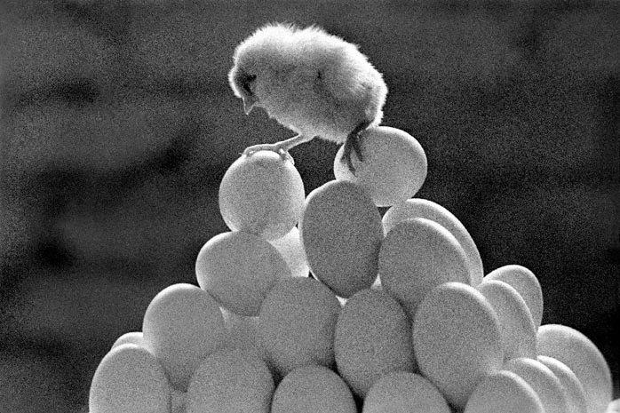 Цыплёнок на яйцах